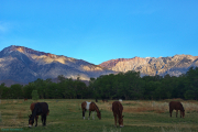 Mules and the Eastern Sierras